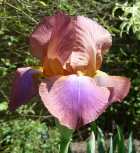Iris Three Oaks