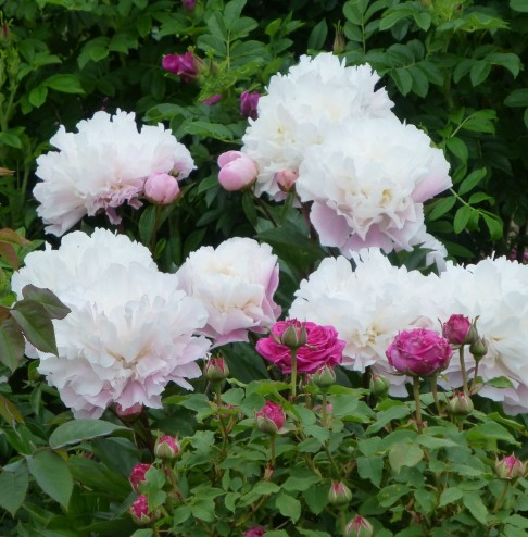 Paeonies and Roses