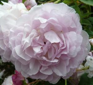 Rosa gallica 'Duchesse d'Angeouleme'