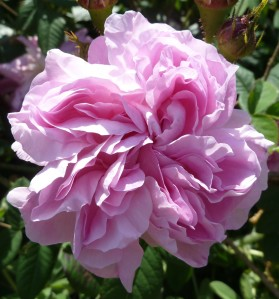 Rosa gallica 'Gloire de France'