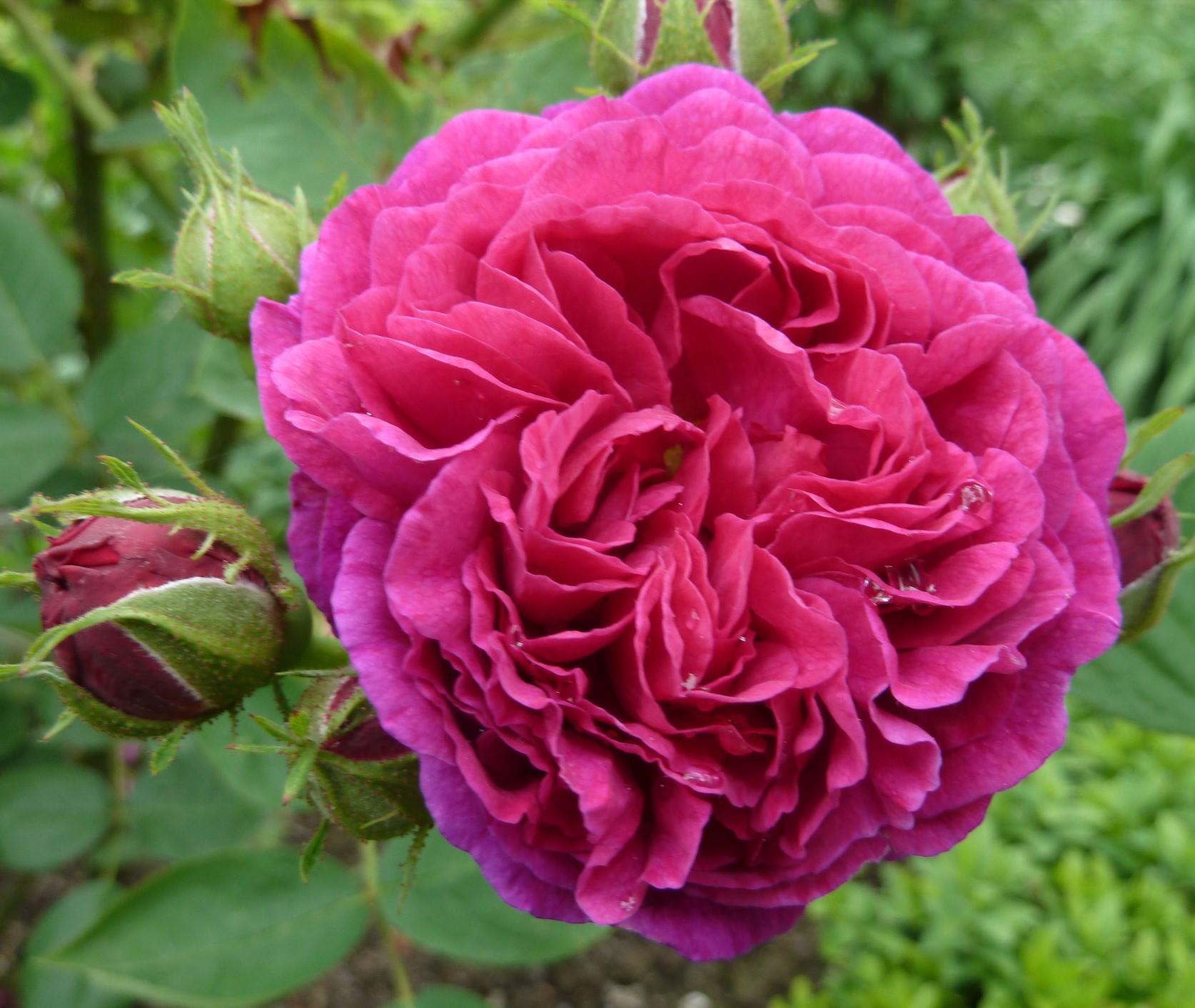Roses are blooming – Part 2 | SISSINGHURST GARDEN