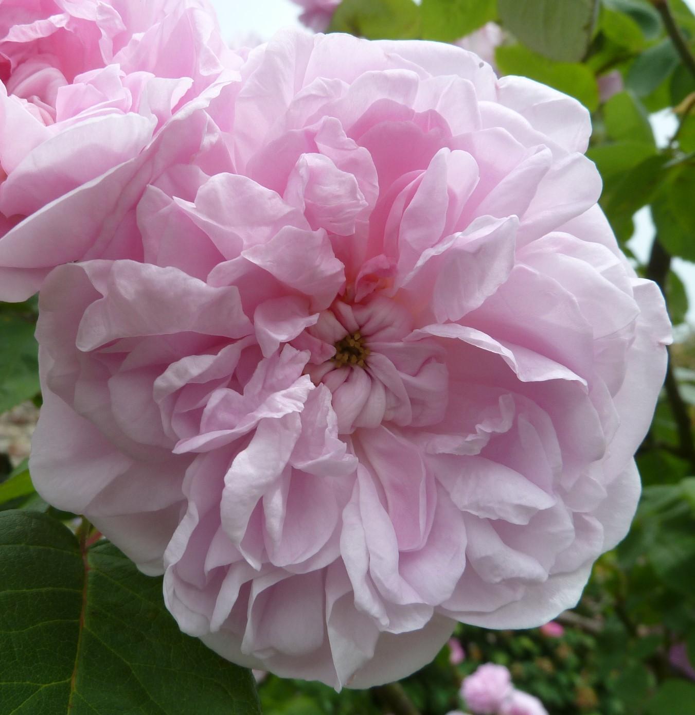 roses are blooming part 2 sissinghurst garden. Black Bedroom Furniture Sets. Home Design Ideas