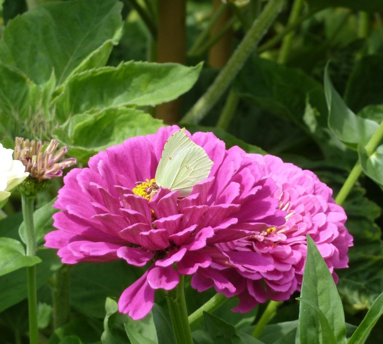 A Brimstone on a zinnia flower