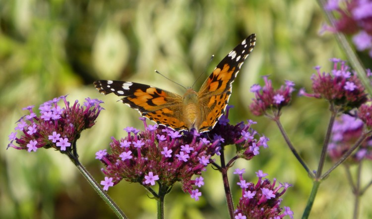 A Painted Lady on Verbena bonariensis
