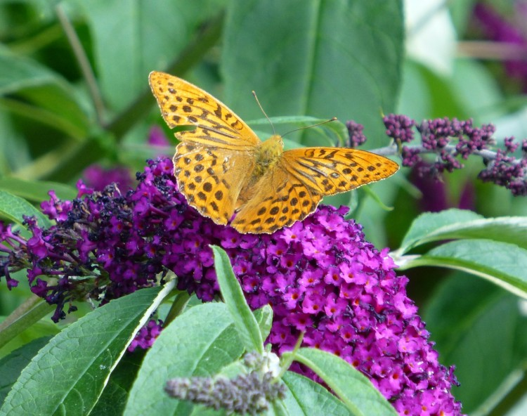 A Silver-washed Fritillary