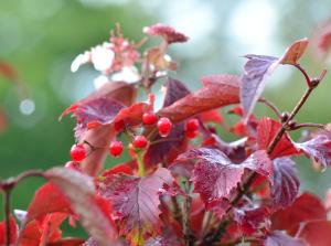 Viburnum sargetii 'Onondaga'