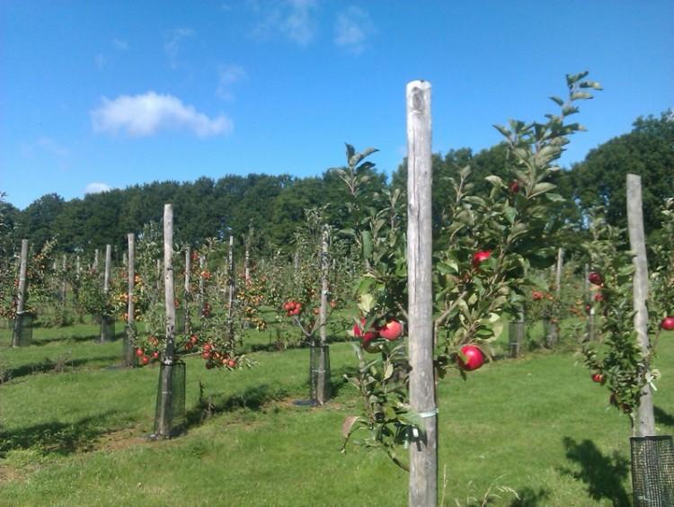 apple harvest 2013