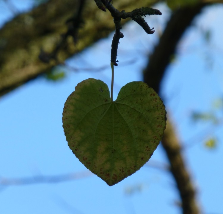 The perfect heart-shaped leaf