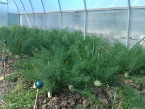 florence fennel 1 may 13