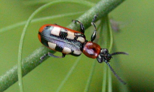 Common asparagus beetle ( Crioceris asparagi )