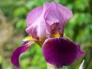 Iris 'Melchior'