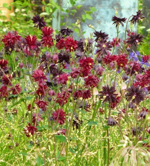 Aquilegia 'Black Barlow' and 'Ruby Port'