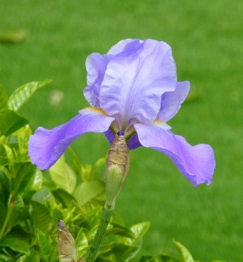 Iris 'Blue Rhythm' in the Telegraph garden