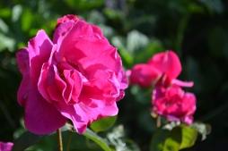 Rosa 'News'