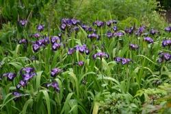 Iris sibirica 'Mysterious Monique'