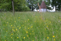 Early buttercups in the orchard