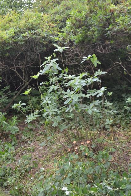 The first pruned azalea