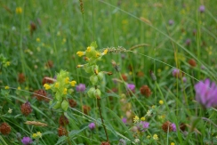 Yellow rattle amongst wild flowers