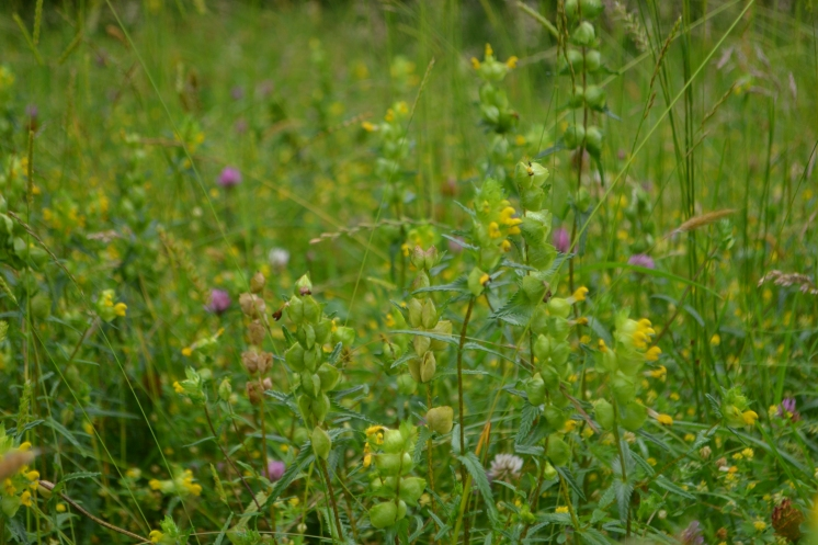Yellow rattle en masse