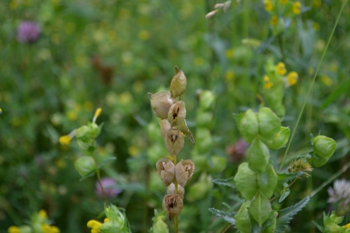 Yellow rattle seed