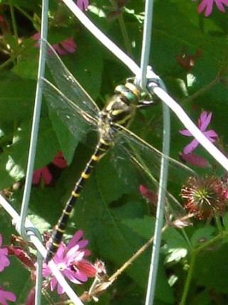 1.Golden Ringed Dragonfly 18 SS
