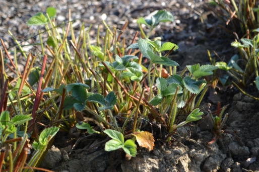 A close-up of the strawberry plants after cutting back.