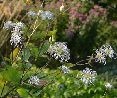 Clematis integrifolia Rosea