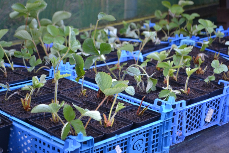 Strawberry runners potted up.