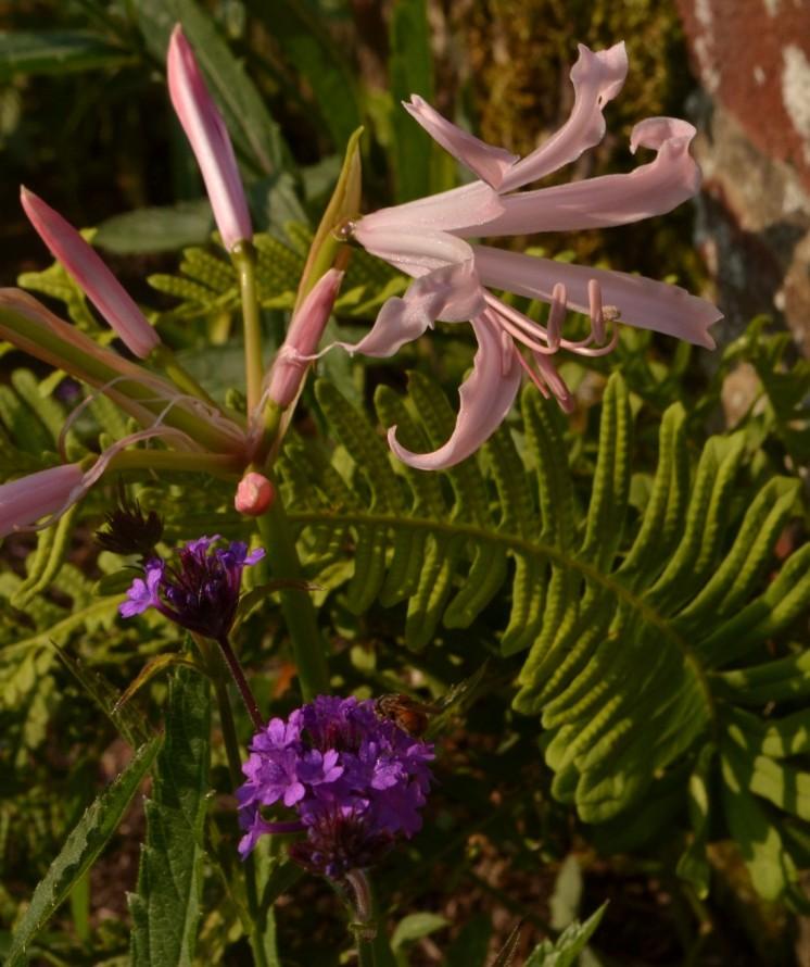 Nerine bowdenii, Verbena rigida and Aspenium scolopendrium