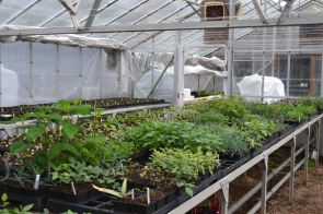 Young plants growing on in the glasshouse.
