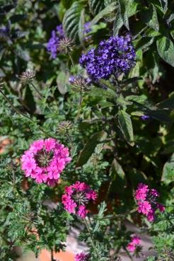 Heliotrope 'Princess Marina' and Verbena 'Sissinghurst'