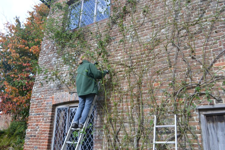 Jo pruning 'Mme Alfred Carriere'