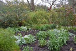 Wallflower 'Fire King' with Verbascum Cottage Garden hybrid