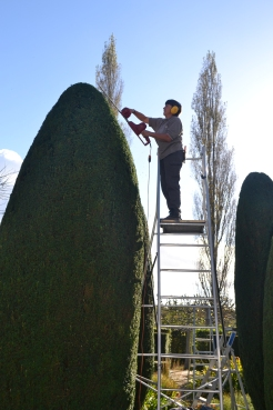 Wendy at work on the yew.