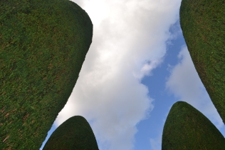 Looking up at the yews