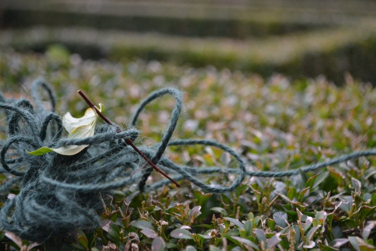 One of the essential items of rose pruning; string!
