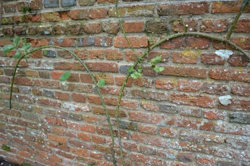 The out-stretched branches of Rosa 'Cupid'