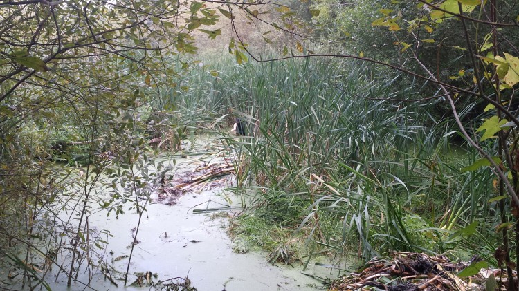 Reeds before removal.