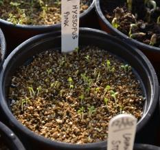 Germinated seedlings
