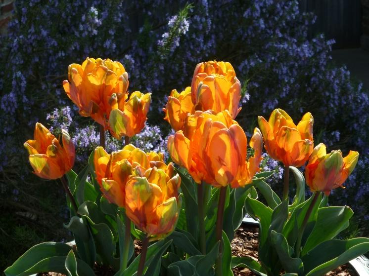 Tulip 'Princes Irene'
