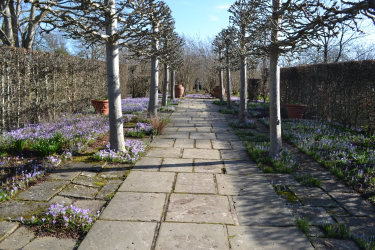 Crocus tommasinianus in the Lime Walk.