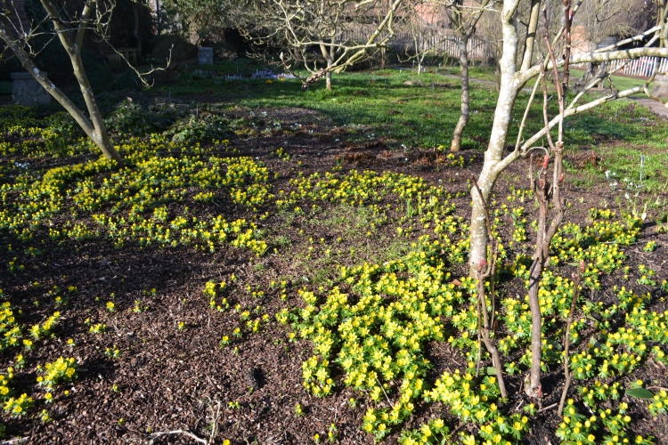 Winter aconites in Delos