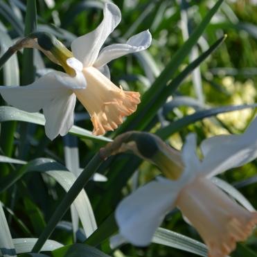 Narcissus 'Mrs R. O. Backhouse'