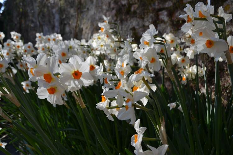 N. 'Cragford' in the Sunk Garden