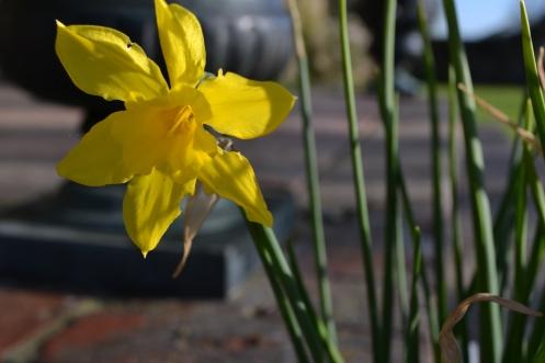 Narcissus x odorus