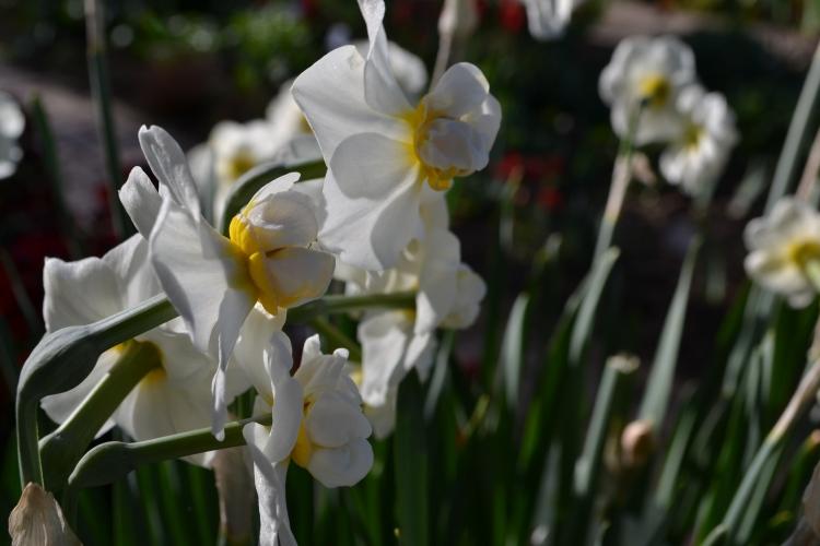 Narcissus 'Cheerfulness'