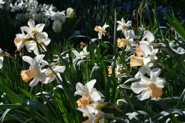 Narcissus 'Mrs R. O. Backhouse'