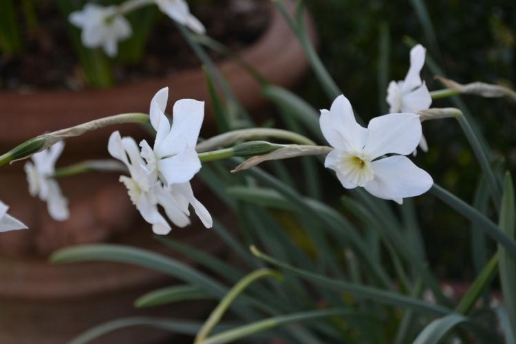 Narcissus 'Xit'