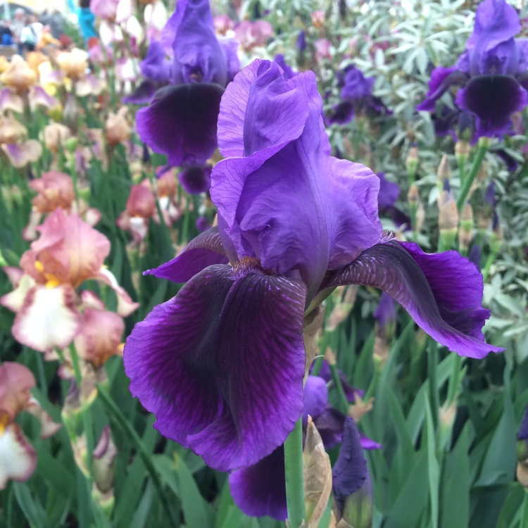 Iris 'Benton Nigel' on show at Chelsea this year.