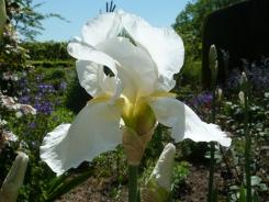Iris 'White City'